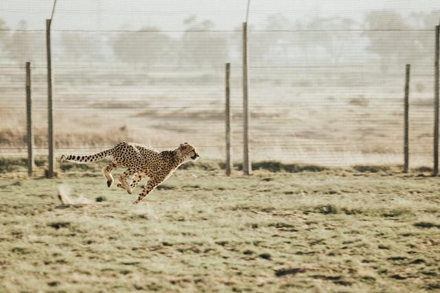 チーター獲物を狙う時